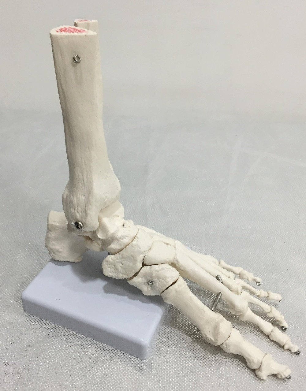 Human Foot Bone Model, Foot Sole, Foints of Foot Ankle, Tibia and Fibula, Foot Model Department of Orthopedics Rancoo