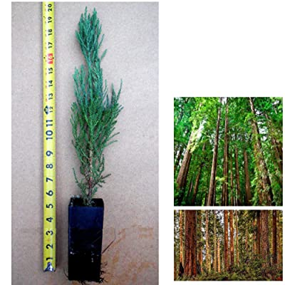 "4 Giant Sequoia Trees 12"" - 18"" Tall Potted in 5"" Deep Band Pot by legendary-yes : Garden & Outdoor"