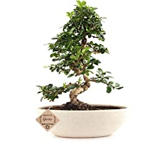 Bonsai Live Plants Carmona Indoor Bonsai Plant with Pot for Indoor Home - Air Purifying Indoor Flowering Plant