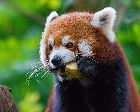 Pintar por NúMeros para Adultos Y NiñOs Kits De Regalo De Pintura Al óLeo DIY Arte De Lienzo Preimpreso DecoracióN del Hogar Panda Rojo Panda Ardiente Comida