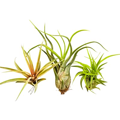 Bliss Gardens 3 Extra Large Air Plants Tillandsia Assorted Variety - XL Size 5 to 10 Inches Long - Live Tropical House Plants for Terrariums, Home Decor, Planters: Garden & Outdoor