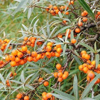 Sea Buckthorn Tree 10 Seeds! Very Hardy Shrub Great for Bonsai! Perfect for Deck Gardens Hippophae Rhamnoides : Garden & Outdoor