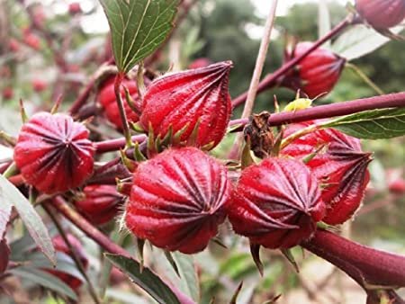100/% Original 250 SEEDS ROSELLE HIBISCUS Sabdariffa Rosella Fruit Plantting Seed