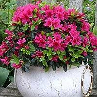 Planta de jardín, azalea japonesa roja en maceta