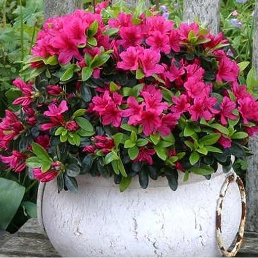 Planta de jardín, azalea japonesa roja en maceta: Amazon.es ...