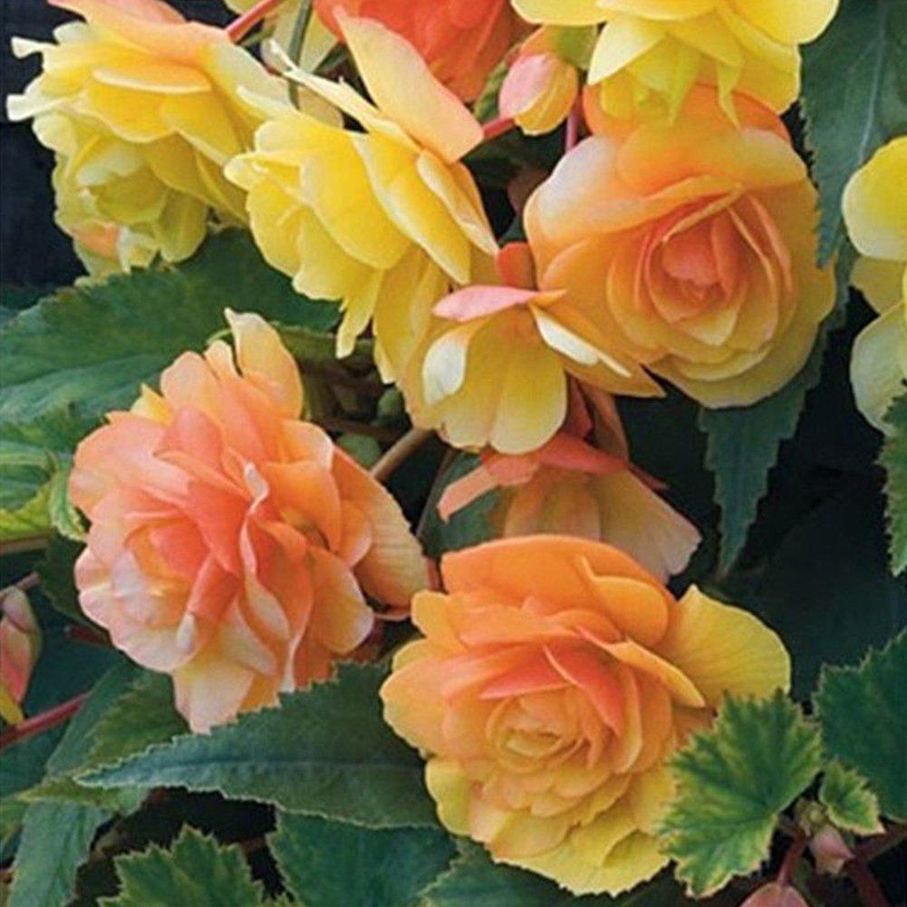 WuWxiuzhzhuo Paquet de 50graines de bégonia - À planter en pot pour la décoration du jardin