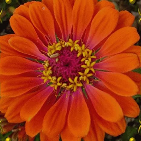 1//4 Lb Blanket Flower Wildflower Seeds Everwilde Farms Mylar Seed Packet