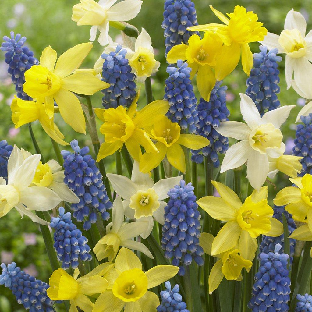 Van Zyverden Spring Suprise Blend Set of 50 bulbs by VAN ZYVERDEN