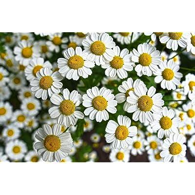 Seeds4planting - Seeds Chamomile Medicinal - Organic : Garden & Outdoor