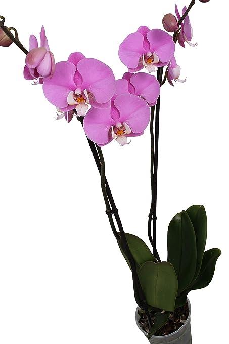 BOTANICLY Orchid 65cm high set of 2 Phalaenopsis Luxor