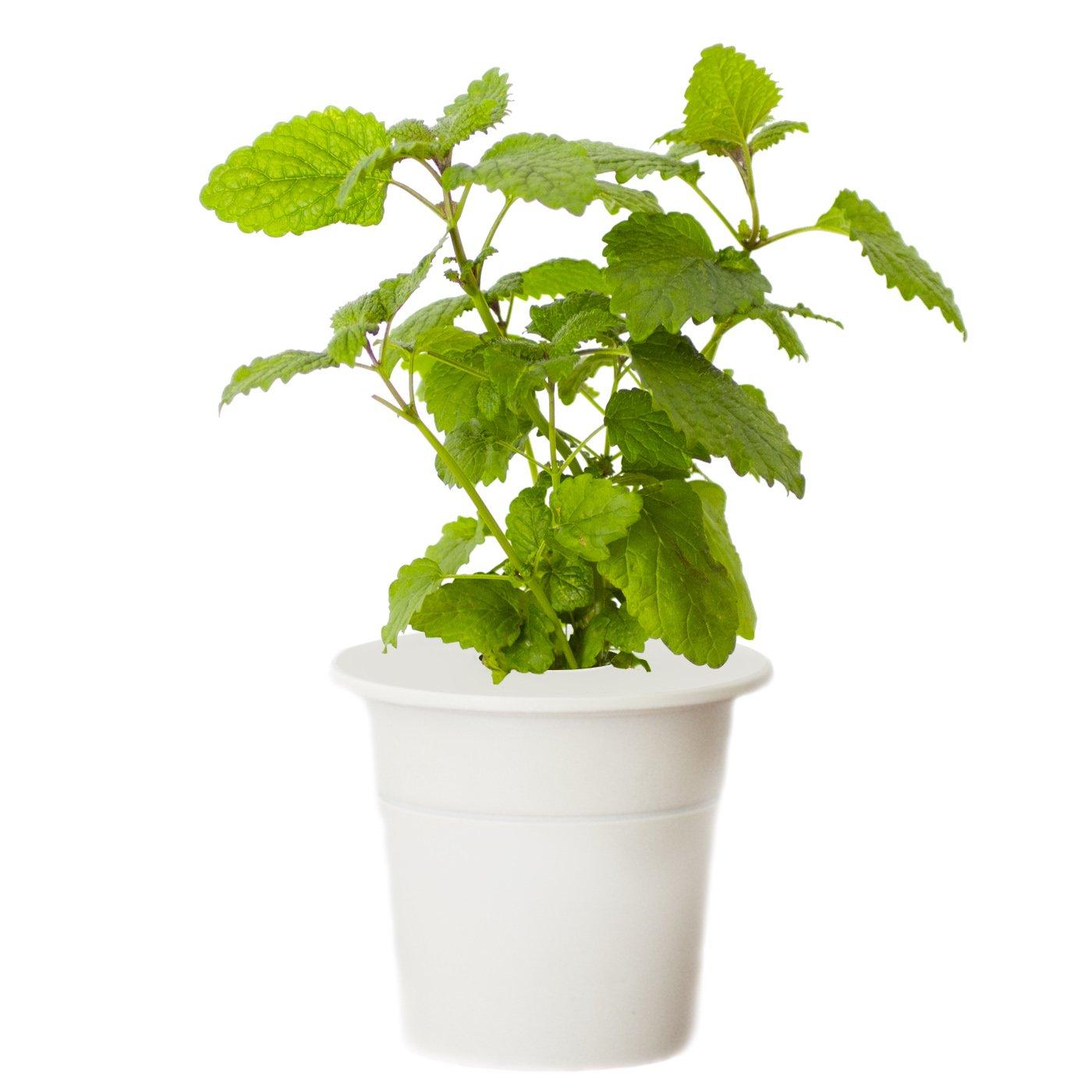 Click & Grow Smart Herb Garden Lemon Balm Refill Cartridge