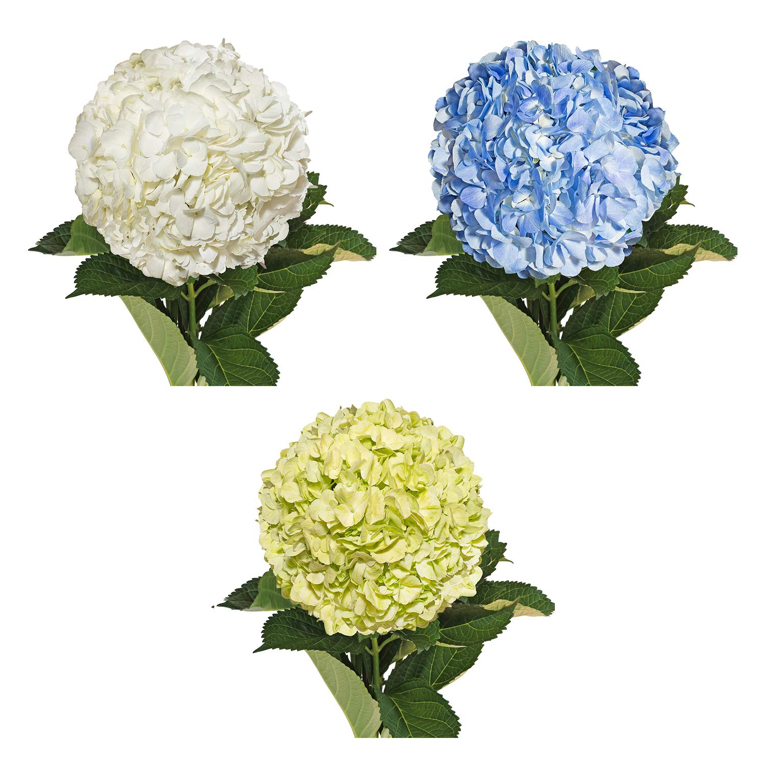 Farm Fresh Natural Assorted Hydrangeas Combo - Pack 15 by Bloomingmore