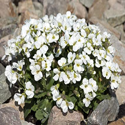 Amazon.com: outsidepride Arabis Snow Peak semillas, Blanco ...