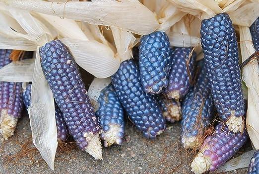 BLUE pop POPCORN corn GroCo # 50 seeds