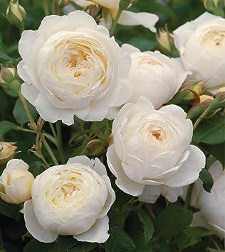 10 Pflanzen Wunderschone Rosa The Fairy White Bodendecker Rosen Ca