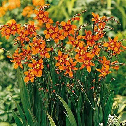 Bolly Bulbs/® 12 Bulbs Crocosmia Montbretia Lucifer