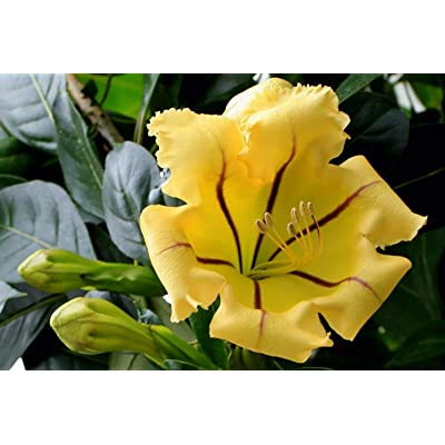 Cup of Gold Vine (Solandra Maxima) Live Plant : Garden & Outdoor