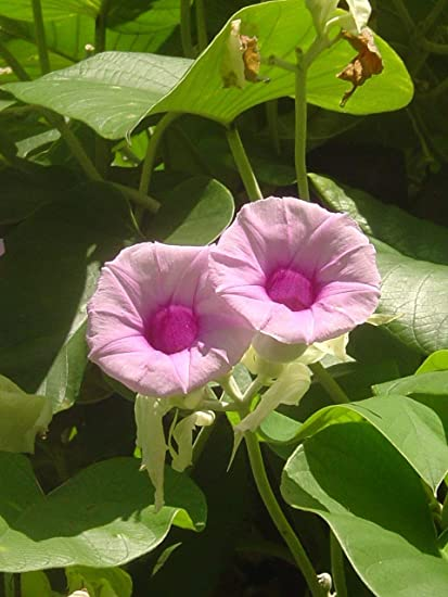 Amazon com : 50 Seeds Organic Woolly Morning Glory packed by