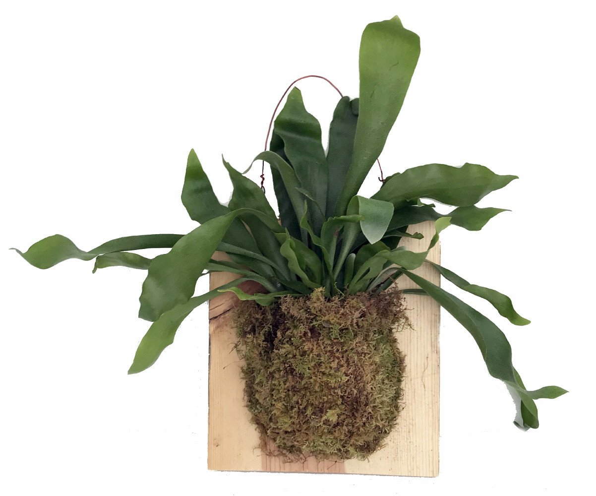 Large Live Staghorn Fern Mounted on Natural Wood Plaque- Easy Houseplant-10 x 9''