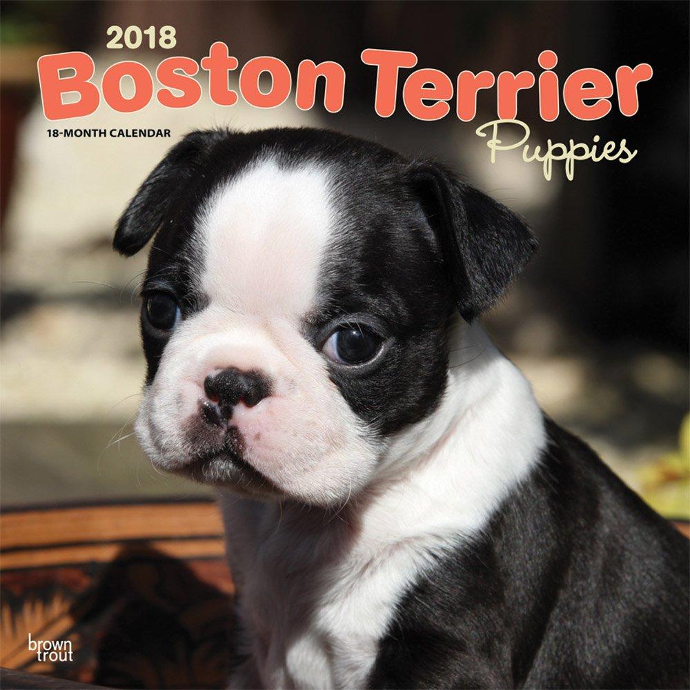 Boston Terrier Puppies - Boston Terrier Welpen 2018-18-Monatskalender mit freier DogDays-App: Original BrownTrout-Kalender [Mehrsprachig] [Kalender] (Wall-Kalender)