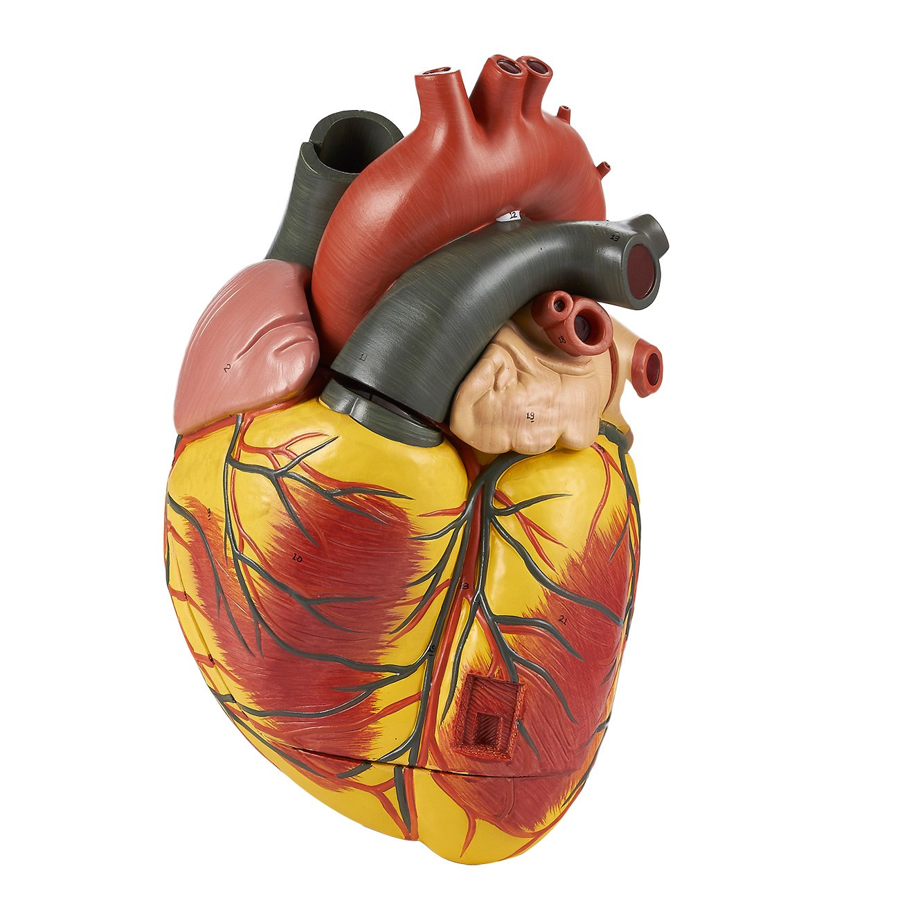 Human Heart Model - Large Heart Model for Science Classroom, Cardiology Anatomy Teaching Model, 3 Times Life Size, 11.2 x 9.2 x 8.2 inches Juvale