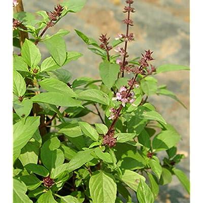 Vintage Sweet Basil Ocimum Basilicum 1, 000 Seeds Frutatropical : Garden & Outdoor