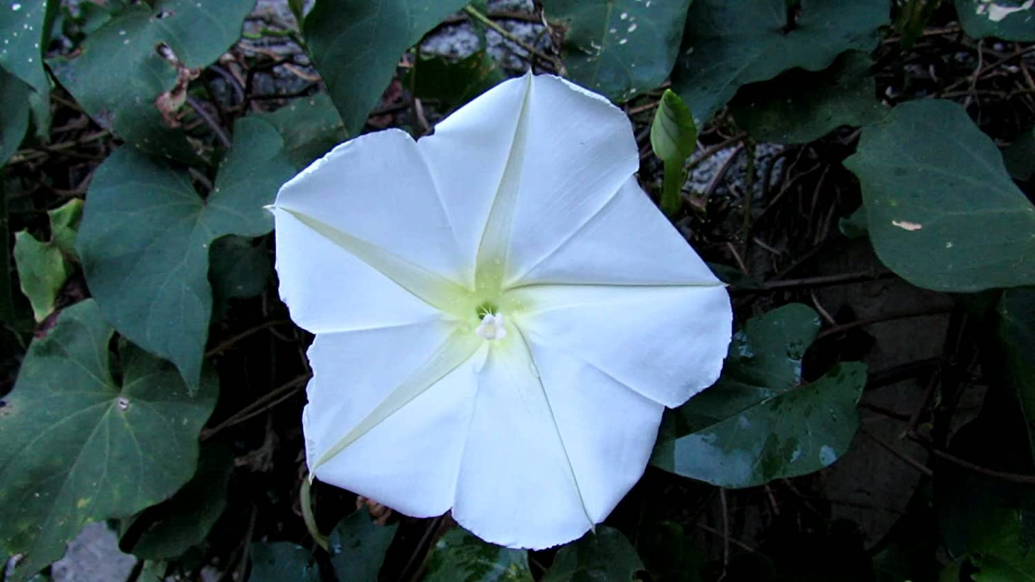 Amazon com : 10 Ipomoea Alba Morning Glory Seeds/Giant White
