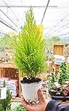 Palmenmann Zimmer-Zypresse (Goldcrest Wilma) Klein - Cypressus macrocarpa Goldcrest