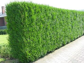 12x thuja plicata evergreen hedge plants western red cedar fast