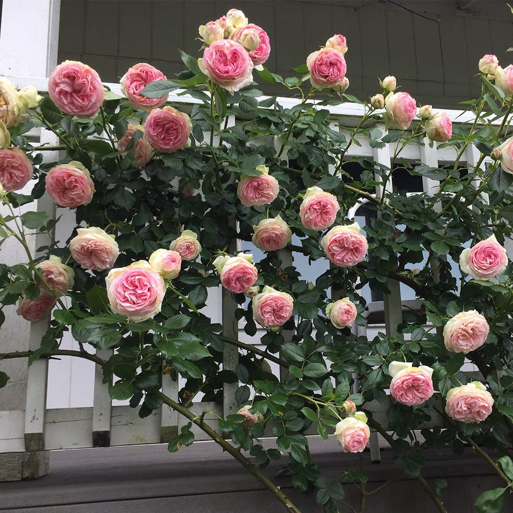 Own-Root One Gallon Eden Climbing Rose by Heirloom Roses by Heirloom Roses (Image #4)