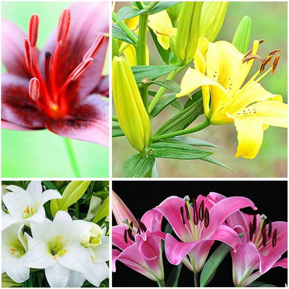 2pcs Oriental Lilies Bulbs Early to Mid Summer Flowers Lilium Flower Home Garden Decor Beautiful Garden Perennials