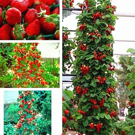 Semillas de fresa escalada, 50 unidades de semillas de fresa rojas ...