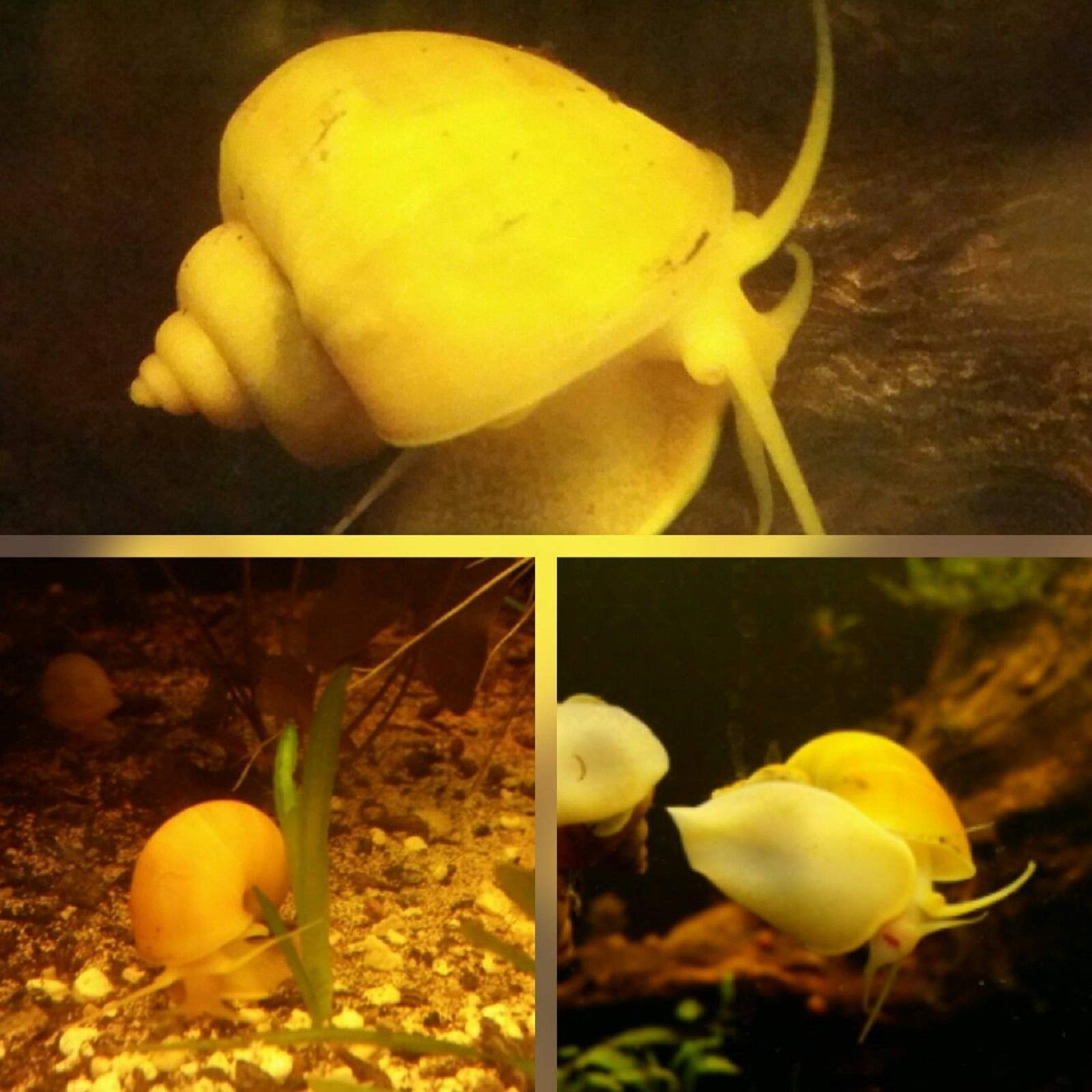 HOT! One large gold mystery snail (algea eater)