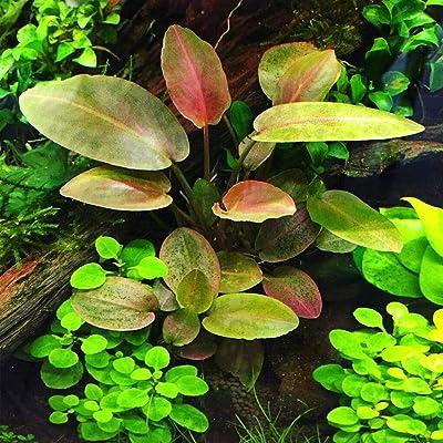 "1 Lagenandra Meeboldii Red Tissue Culture Cup 2.5""x2.5"" AB022 : Garden & Outdoor"