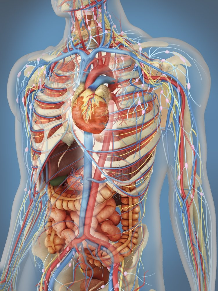 Amazon Transparent Human Body Showing Heart And Main