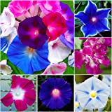 "Package of 150 Seeds, Morning Glory ""Crazy Mixture"" (Includes a Variety of Colors & 10+ Species) Non-GMO Seeds by Seed Needs"
