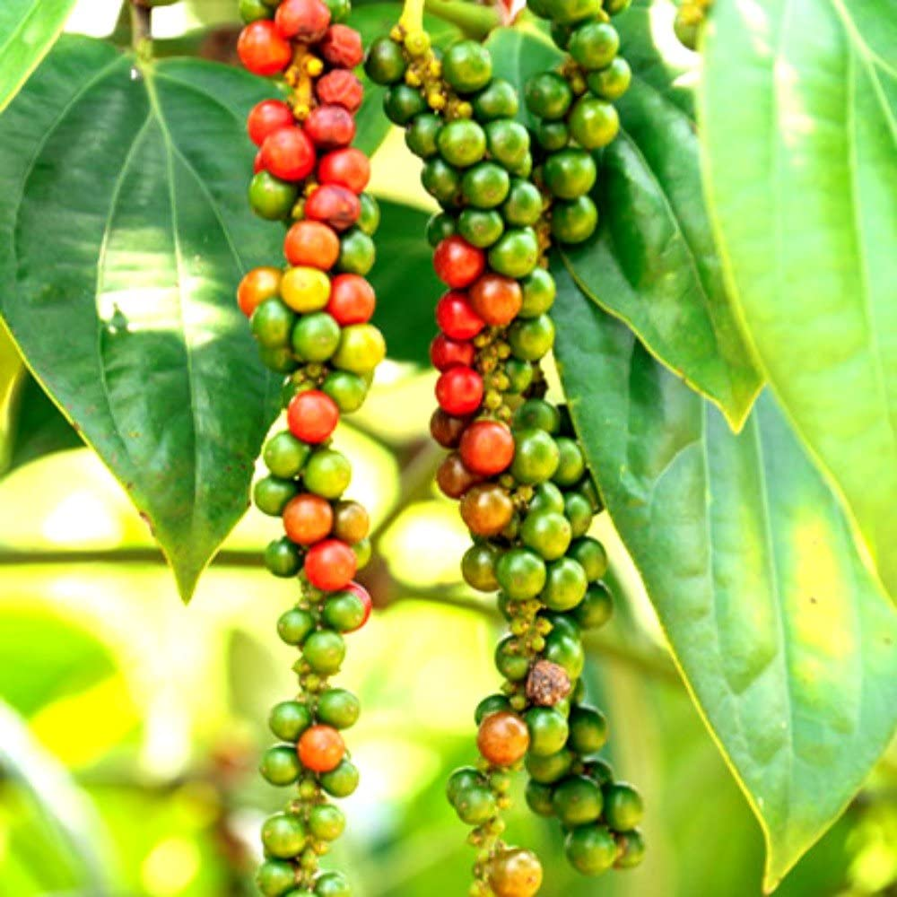 4 8 Black Pepper PlantsPiper Nigrum Choose Four or 4 Plants