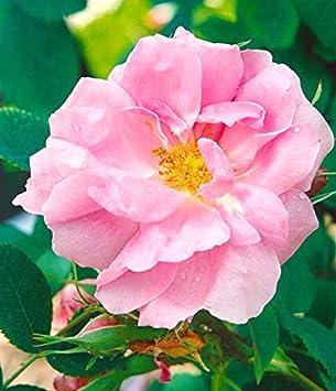 Historische Moosrose im 4 L Container Rosa centifolia muscosa