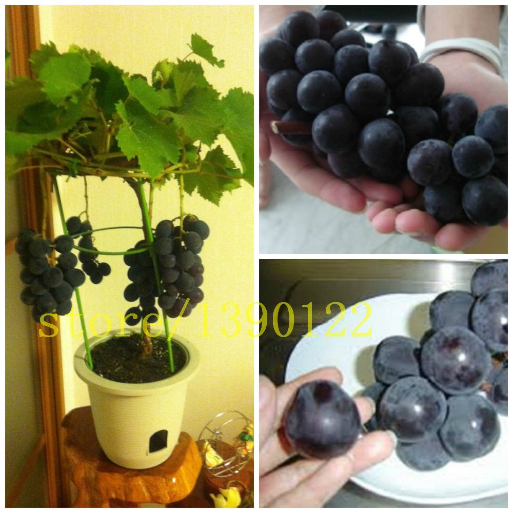 50/bag grape seeds bonsai fruit black grape seeds Dwarf grapes tree easy grow Japanese Dwarf fruit for home garden planting SVI