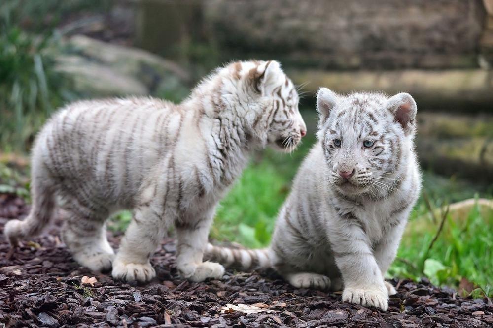 Amazon com: R Maltto White tiger cubs - Art Print Poster
