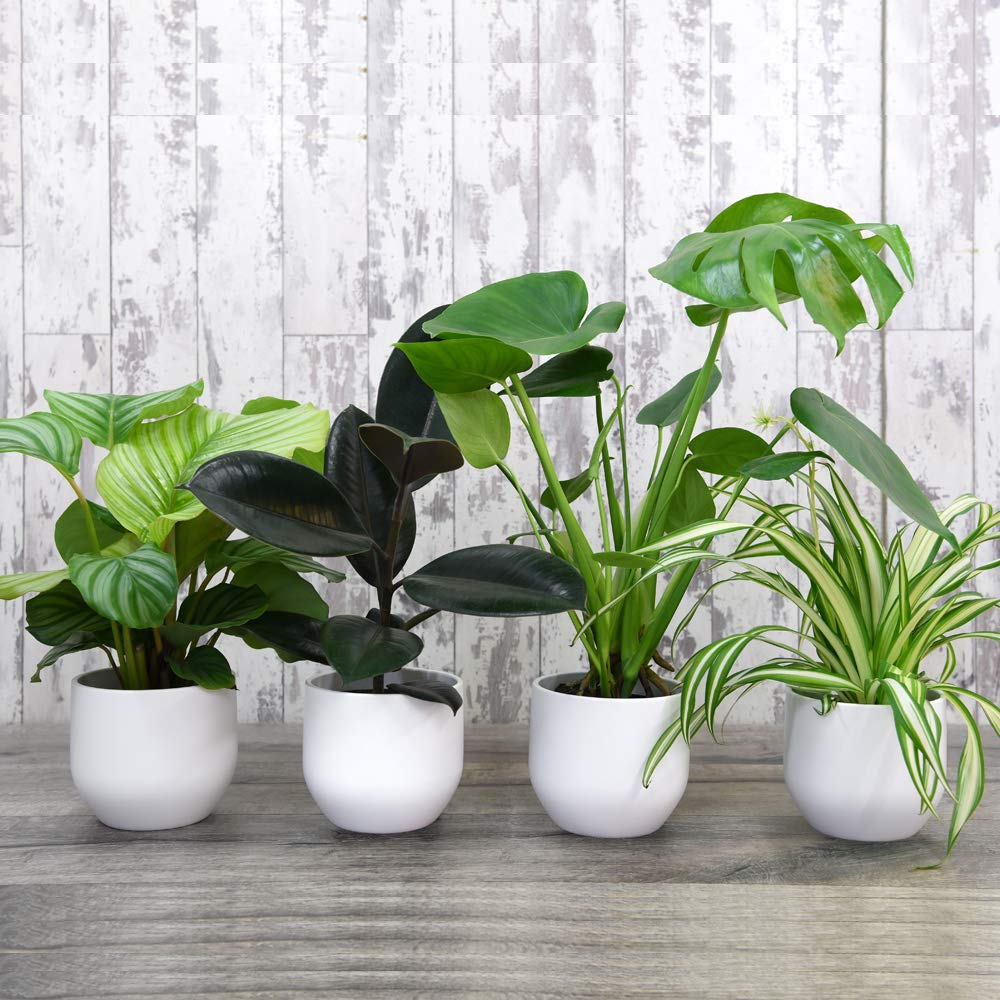 Evergreen Indoor House Plants Collection Containing Swiss Cheese, Spider, Indian Rubber & Prayer Plants, An Easy to Grow Tropical Looking Collection, Jungle Collection x 4 House Plants by Thompson and Morgan THOMPSON & MORGAN