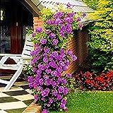 Ncient 200 Semillas de Rosas Trepadoras Semillas Flores Raras Plantas Bonsai para Jardín Balcon Interior y Exteriores