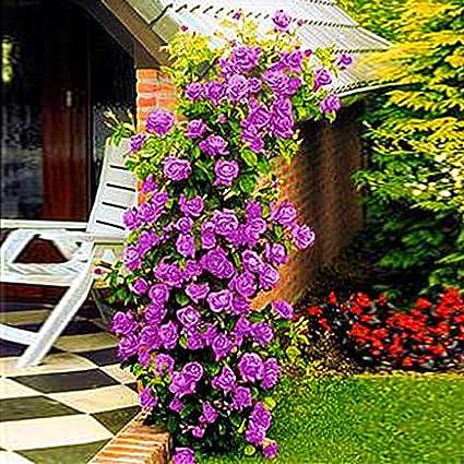 Ncient 200 Semillas de Rosas Trepadoras Semillas Flores Raras Plantas Bonsai para Jardín Balcon Interior y