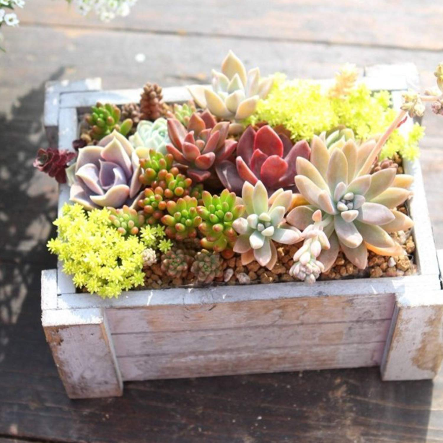 Premium Rosette Succulents, 9 Assorted Rooted Succulents in 4'' Planter Pots with Soil, Real Live Succulents Bonsai for Indoor Home Office Cactus Decor, Terrariums, Mini Garden by The Next Gardener (Image #6)