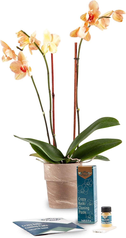 Vitamine wecken Bl/üte f/ür Zimmerpflanzen Spezielles Cytokinin /& B1 Orchideen-Klonungspaste: Eigenen Phalaenopsis Orchidee Keiki Setzling in Wochen wachsen damit Sie Pflanzensammlung erweitern