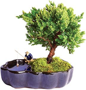 "Brussel's Bonsai Live Green Mound Juniper Outdoor Bonsai Tree in Zen Reflections Pot-3 Years Old 6"" to 8"" Tall-Not Sold in California"