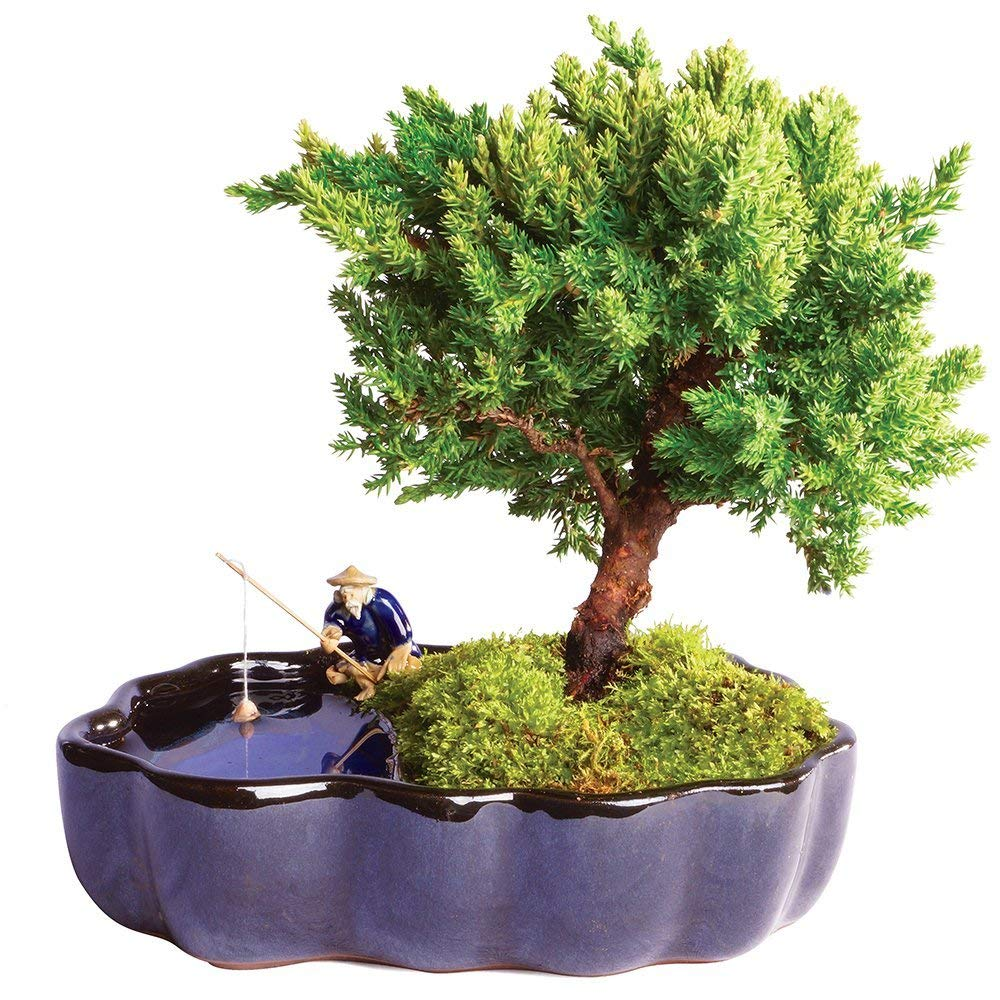 Brussel's Bonsai Live Green Mound Juniper Outdoor Bonsai Tree in Zen Reflections Pot - 3 Years Old; 6'' to 8'' Tall - Not Sold in California
