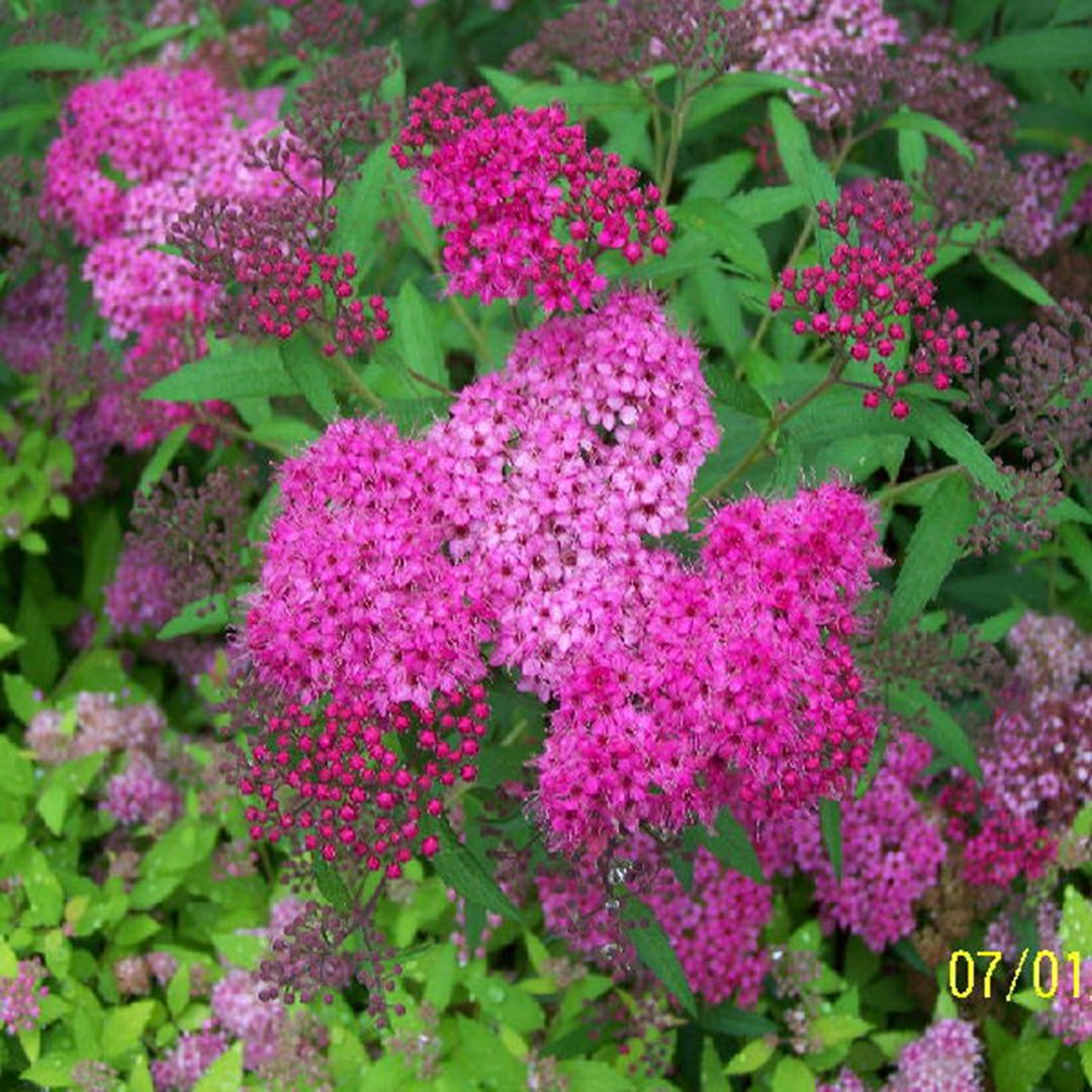 Amazon Spirea Neon Flash Live Plants 2 Year 1 Gallon Flowering