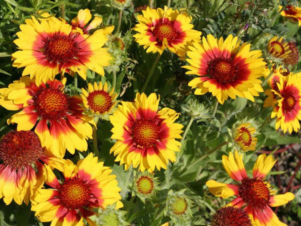 Amazon 200blanket Flower American Native Wildflower Perennial