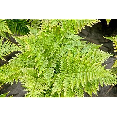 1 Gallon Live Plant Autumn Dryopteris Fern Outdoor Gardening tksery : Garden & Outdoor